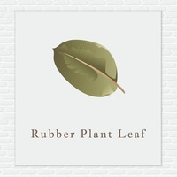 Rubber plant leaf